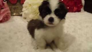 Apollo Male Shorkie (shih Tzu And Yorkie Mix) Puppy