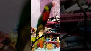 Burung Nuri Pelangi Belajar Ngomong Cewek