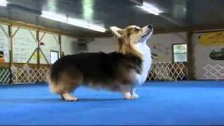 Dogs 101 Pembroke Welsh Corgi