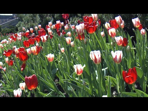 Tulip buffet: Moose eats Canada 150 garden display