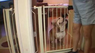 English Bulldog Learns To Earn | Drsophiayin.com