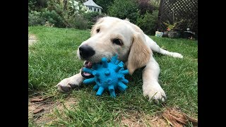 Rosie - 4 Month Old Golden Retriever - 3 Weeks Residential Dog Training