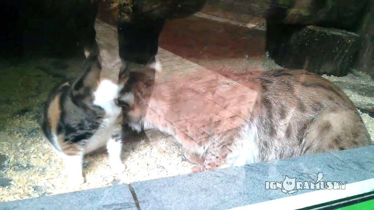 Stray Cat Enters St Petersburg Russia Zoo Becomes Friends With Lynx
