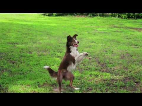 Incredible dog tricks with Clever the border collie