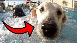 LETTING MY LABRADORS SWIM IN THE NEW POOL!!