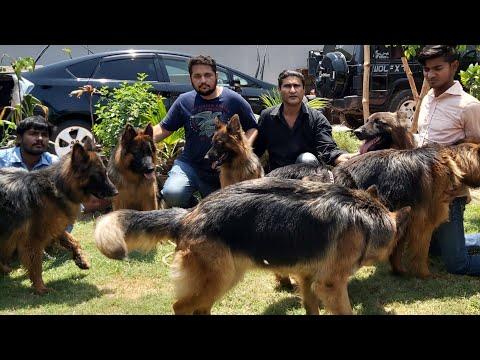 25 German shephered dogs Kennel Hsn entertainment