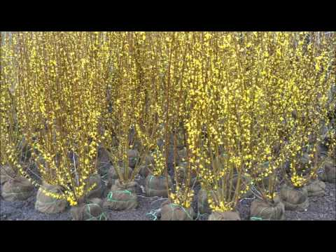 Planting Using Forsythia as a Hedge