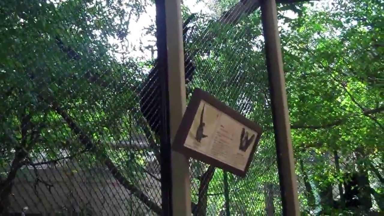 Singing Siamang Apes At The La Zoo Youtube