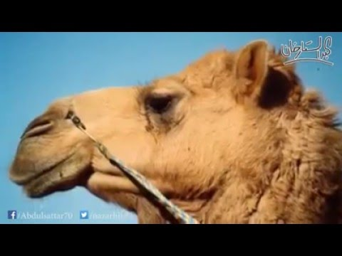 The camel of prophet Muhammad
