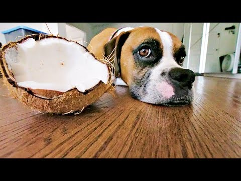 WARNING! ACTUAL COCONUT OK 4 DOGS? 🐶🌴