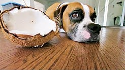 Coconut Oil is Good for Dogs, But What About Coconuts?