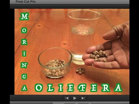 The Benefits Of Moringa Oleifera, With My Own Water Filtering Experiment
