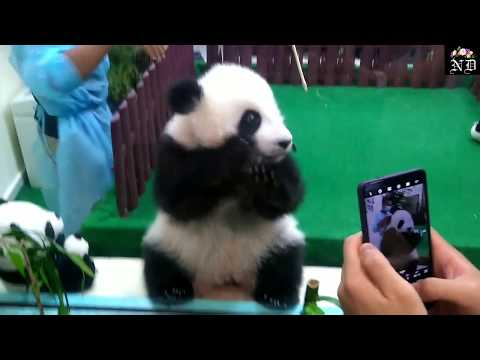 Panda   Giant Panda   Baby Panda   Panda in Zoo Negara , Malaysia