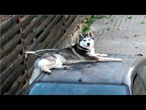 Chilling On A Car Because I Can - In Memory of Simba Part 3/3