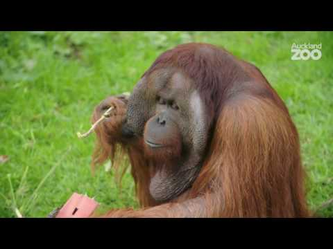 Thumbnail: Zoo Tales - International Orangutan Day