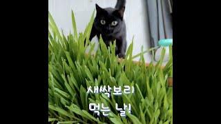 고양이가 집중할 때(2) / 새싹보리 먹방 / Catn…
