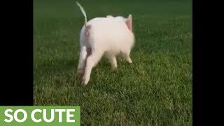 Mini pig chases after her human friend