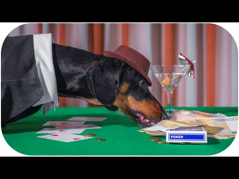 Begginers luck! Cute & funny dachshund dog video!
