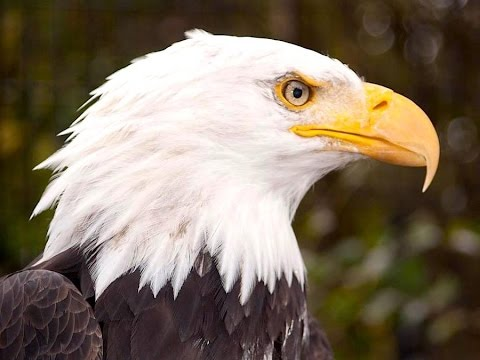 High Flying Bald Eagle Facts Youtube