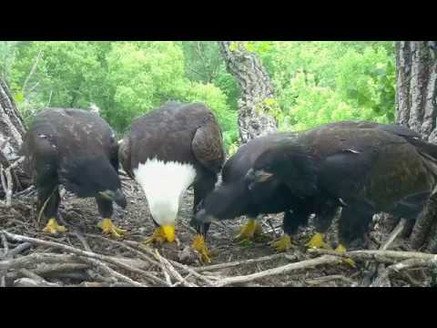 DECORAH EAGLES 🐣🐣🐣