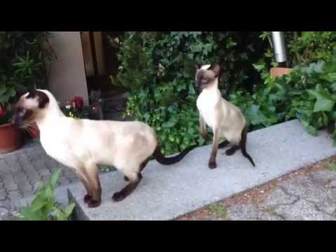 Silver Fox', my happy  Siamese Seal-Point cats 2
