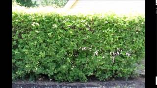 Viburnum Hedges    Tips on PLanting a Hedge