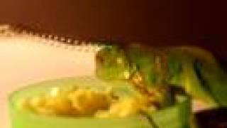 Mi Iguana de 2 meses come manzana y calabaza picada