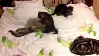 Вислоухие мраморные британцы котята
