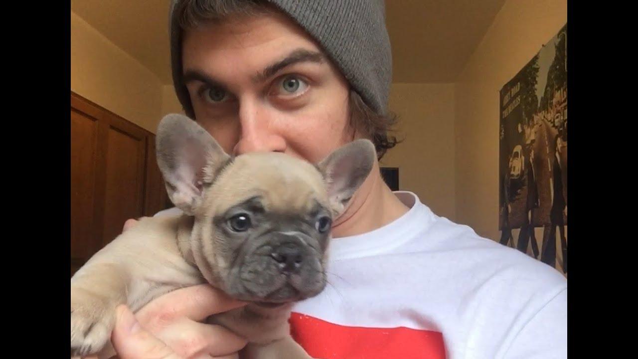 8 Week Old French Bulldog Puppy BRUNO! - YouTube