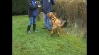 Teaching Davis The Dogue De Bordeaux Impulse Control