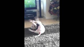 English Bull Terrier Stella Dislikes T-shirt!