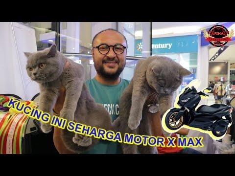 Melihat langsung kucing-kucing import yang menggemaskan di International cats show.