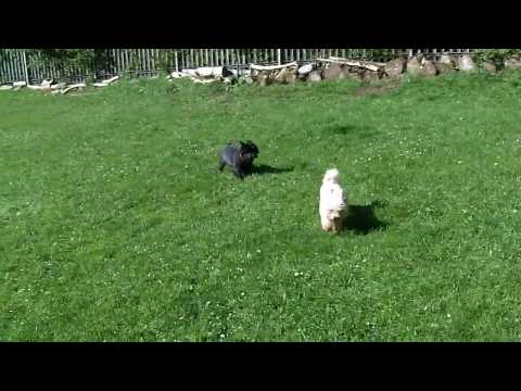 Fab Fergus Cairn Terrier & Bichon Peppa do not even notice the Guinea Fowl in the field!