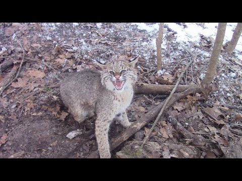 bobcat trapping with dirt hole sets and cubby sets with catch