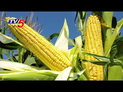Farmers Concern Over Steep Decrease In Corn Prices | Annapurna | Telugu News | TV5 News
