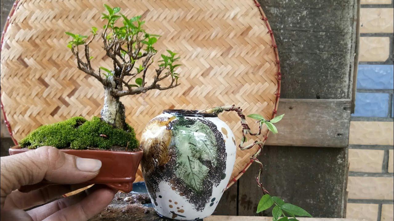 Tạo 1 cây mini từ cây nhỏ như thế nào?