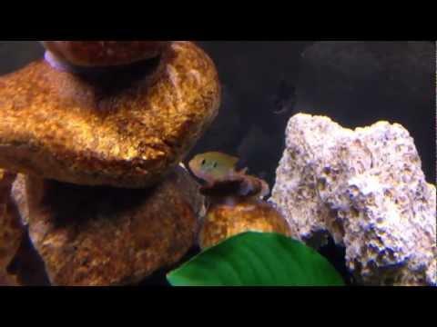 New Turquoise Jewel Cichlids!