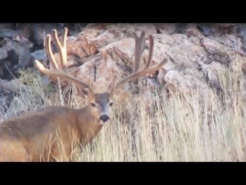 GIANT Bucks On Antelope Island 2014 - MossBack