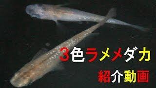 3色ラメメダカ 紹介動画 thumbnail