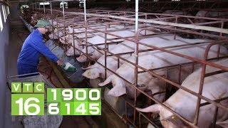 Cách tái đàn lợn tránh dịch tả Châu Phi | VTC16