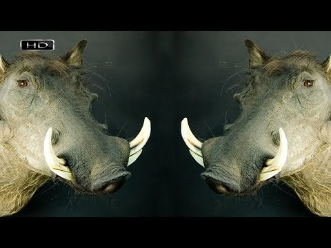 Кабан с саблевидными клыками в пасти и огромными бородавками на морде - Африканский бородавочник