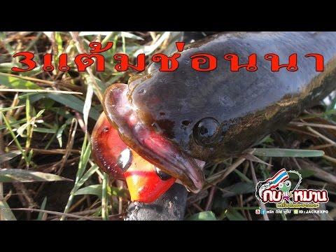 3แต้มปลาช่อนนา กบยางใช้ง่ายที่นักตกปลามือใหม่ไม่ควรพาด