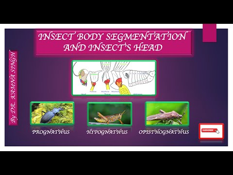 Insect Body Segmentation || Structure Of Head || Thorax || Abdomen || Types Of Head