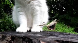 カマキリとしろ2 Mantis and cat 161024