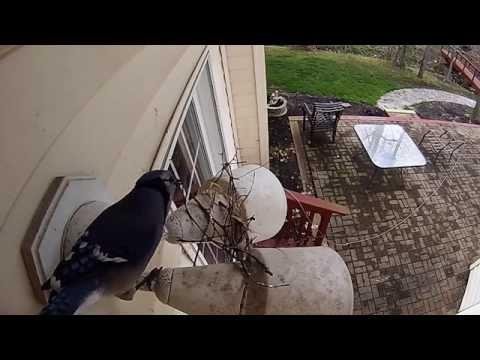 Blue Jays Building Nest - YouTube