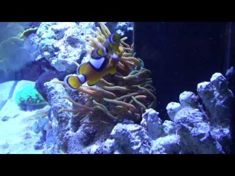 Rose Bubble Tip Anemone Care