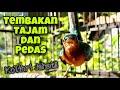 Masteran Kolibri Wulung Tembakan Tajam Dan Mbeset Pedas Bikin Kowul Lain Langsung Ikut Bunyi Gacor  Mp3 - Mp4 Download