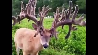 Cervalces deer | #AnimalLove | #FunTime | #FunnyAnimals |