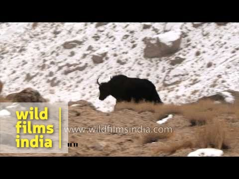Yaks Run Down The Steep Mountains Of Ladakh, With Confidence And Agility