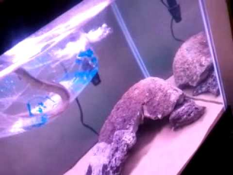 my fresh water moray eels new home